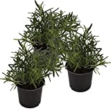Seville Farms HB007 Rosemary Trio Herb Live Plant, Pint
