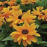 Tiger Eye Gold Rudbeckia 25 Seeds New for '09 Sun Lover