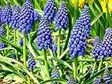 10 Muscari Armeniacum Grape Hyacinth Blue Color Flower Bulb Perennial Spring