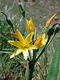 Dobo Lily - Cyrtanthus breviflorus - Fresh Seeds