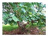 Ficus auriculata - elephant ear fig tree - 50 seeds