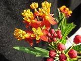 100 Sunset Flower Milkweed/Blood Flower Seeds (Asclepias Curassavica), by Seeds2Go