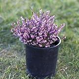 Heather 'Mediterranean Pink' - Size: 1 Gallon (Erica x darleyensis 'Mediterranean Pink') by Greener Earth Nursery