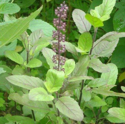 Selpline - Shyama-Krishna- Basil Tulsi Religious Live Plant: Amazon.in:  Garden & Outdoors