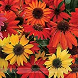ADB Inc 50 Seeds Hardy Perennial Echinacea 'Cheyenne Spirit Mixed' Coneflower Seeds