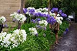 25+ AGAPANTHUS WHITE & PURPLE MIX LILY OF THE NILE FLOWER SEEDS/PERENNIAL