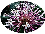 Starburst Shooting Star Clerodendrum Quadriloculare Tropical Plant Shrub White Pink Flowers Starter Size 4 Inch Pot Emeralds Tm