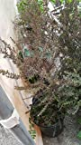 9EzTropical - Leptospermum scoparium 'Ruby Glow' - 2 to 3 Feet Tall - Ship in 1 Gal Pot