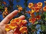 15 Seed Tecoma stans Orange Jubilee guarume alata Bell Star Trumpet Bush Cahuato