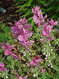 50 'PINK SUNDAE' CLARY SAGE / SALVIA Viridis Herb Flower Seeds *Comb S/H