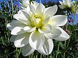 "'White Onesta' Waterlily Dahlia, 8"" Blooms"