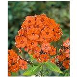 Phlox paniculata ''Orange Perfection'' (3 roots), Summer Phlox (Plant/ Root)