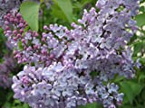 Syringa oblata, purple flowering EarlyLilac/Chinese Lilac, 25 plant seeds.