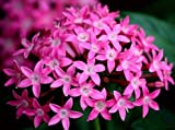 Solution Seeds Farm New Rare Hierloom Pentas Lanceolata Flower seeds, 200 Seeds, Starry flowers Seeds Purify Indoor Outdoor Bonsai Air Mixing colors Plant (SEEDS)