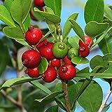 PSIDIUM LITTORALE - YELLOW STRAWBERRY GUAVA - STARTER PLANT