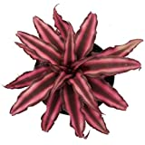 """Fire Mystic Earth Star Plant - Cryptanthus - Easy - 4"""" Pot"""
