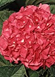 1 Gallon - Merritts Supreme Pink Hydrangea(macrophylla) - Mop-head Blooming Shrub - Live Plants