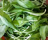 60 Kalimeris Indica Pure Natural Wild Vegetables Seeds ~Chris's garden