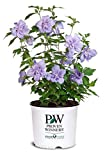 Proven Winners - Hibiscus syriacus Blue Chiffon (Rose of Sharon) Shrub, double lavender flowers, #3 - Size Container