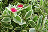 Dorotheanthus Bellidiformis - Trailing Red Succulent Daisy - Fairy Garden Plant