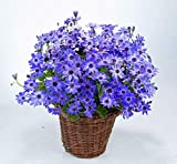 Florists Cineraria Seed Pericallis hybrida Seeds DIY Home And Garden Decor 100 Seeds 16#32800251882ST