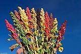 Chenopodium quinoa plant Seeds- Rainbow -Hot pink Red,Orange,Yellow,White,Green