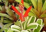 """Red Sword Variegated Vase Plant - 6"""" Pot - Aechmea nudicaulis albo - Bromeliad"""