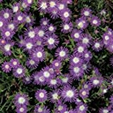 Outsidepride Ice Plant Stardust Flowering Ground Cover Seed - 1000 Seeds