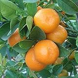 "Live Plant Meiwa Kumquat Trees Real 3""- 6"" Citrus Fruit Landscaping Starter Plants"