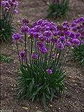 25 Armeria pseudarmeria (Ballerina Lilac Seeds) False Sea Thrift,Perennial