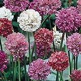 Outsidepride Armeria Joystick Flower Seed Mix - 200 Seeds