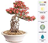 "Brussel's Live Azalea Specimen Outdoor Bonsai Tree - 35 Years Old; 16"" Tall with Decorative Container"