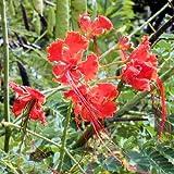RED BIRD OF PARADISE CAESALPINIA PULCHERRIMA 10 seeds