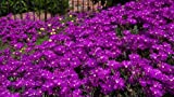 NEW! 50+ DELOSPERMA PURPLE ICE PLANT FLOWER SEEDS /PERENNIAL