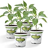 Bonnie Plants Jalapeno Hot Pepper Live Vegetable Plants - 4 Pack | Most Popular Chile Pepper | Non-GMO | 24 - 48 Inch Plants | 3 Inch Pepper Size