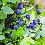 Outsidepride Blueberry Fruit Plant Vaccinium Myrtillus Seed - 1000 Seeds