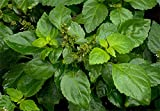 1 Starter Plant of Patchouli