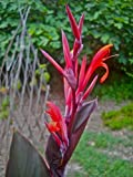Canna indica-Indian shot- Spiky red flowers- 10 fresh seeds
