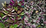 2 Types Variety Lot Tradescantia Tri Color Fluminensis & Zebrina Wandering Jew