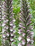 Bear Breeches 7 Seeds - Acanthus mollis - Perennial
