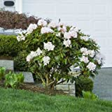 White Rhododendron Shrubs - Huge White Blooms The First Year! - 1 Gallon