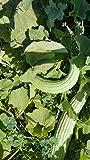 Armenian Yard-Long Cucumber Seeds