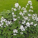 Outsidepride Money Plant White - 1000 Seeds