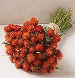 50 Gomphrena (Globe Amaranth) Orange seeds