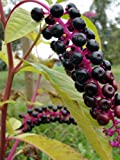 "AMERICAN POKEWEED ""Phytolacca americana"" ~Makes great Vine~ Perennial SEEDS"