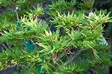 "25 Japanese Maple Tree Seeds Acer ""Mikawa yatsubusa"" Freshly Picked"