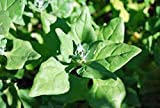 Spinach Seed, New Zealand, Heirloom, Organic, Non Gmo, 500 Seeds, Tasty Spinach
