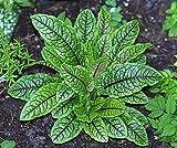 Rumex sanguineus ssp Sanguineus 1,000 seeds