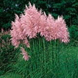 Outsidepride Pampas Grass Seeds Pink - 5000 Seeds