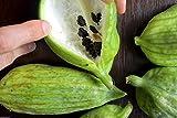 Caigua 10 Seeds (Pronounced Kai-wa) Ediblefruit, Seeds, and Leaves.very Rare Cucumber